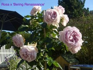 Lys lilla rose