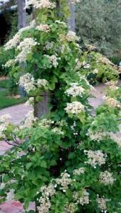 KLATREHORTENSIA. Planten bliver typisk omkring 400 - 600 cm høj og 200 - 300 cm bred. Den er middelt voksende og bruges ofte i slyngende beplantninger. Trives bedst i sol / halvskygge. Det er en fuldt ud hårdfør plante til det danske klima. Planten kræver mellem gødning. Bladene er grønne og ægformede. Flotte hvide blomster, som typisk er fra 10 - 25 cm. Blomstrer fra juni- juli.