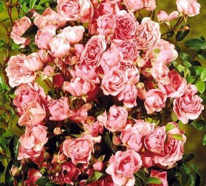 Planten bliver typisk omkring 30 - 50 cm høj og 30 - 50 cm bred. Den er middelt voksende og bruges ofte i bunddækkende beplantninger. Trives bedst i sol / halvskygge. Det er en fuldt ud hårdfør plante til det danske klima. Planten kræver kraftig gødning. Bladene er mørkegrønne og sammensatte. Flotte rosarøde blomster, som typisk er fra 1 - 5 cm. Blomstrer fra juli- september.