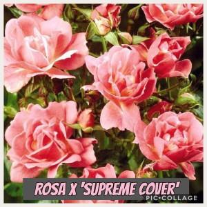Planten bliver typisk omkring 30 - 50 cm høj og 30 - 50 cm bred. Den er middelt voksende og bruges ofte i bunddækkende beplantninger. Trives bedst i sol / halvskygge. Det er en fuldt ud hårdfør plante til det danske klima. Planten kræver kraftig gødning. Bladene er mørkegrønne og sammensatte. Flotte rosarøde blomster, som typisk er fra 1 - 5 cm. Blomstrer fra juni- september.